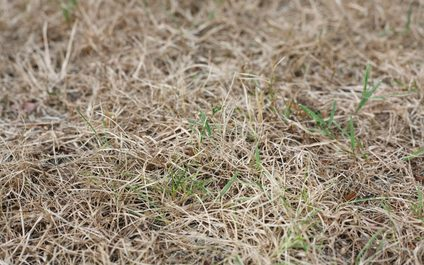 Brown Grass Can be Green Again with Dethaching